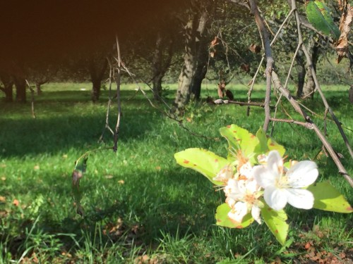 Apple Blooming in October