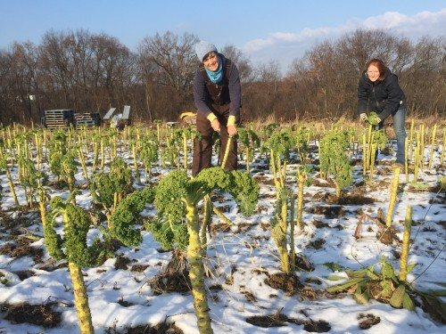 Maria, Megan picking kale in December