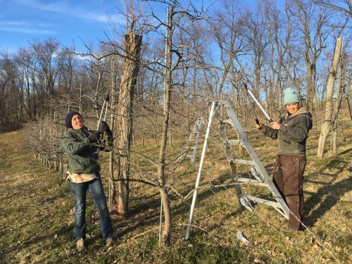 Larissa and Maria finish Goldrush Pruning