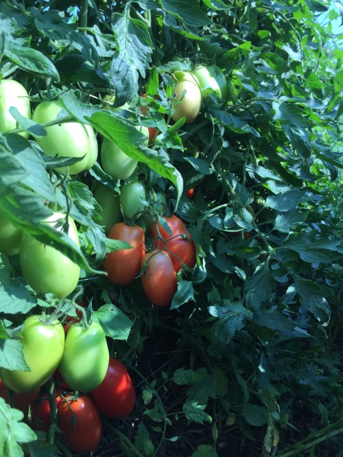 Roma or Paste Tomatoes