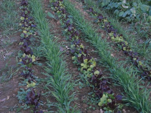 Rye and lettuce rows