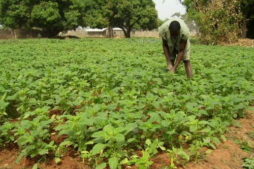 "Ghanaian ""crop"" of Pigweed"