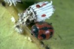 lady beetle attacking I. purchasi