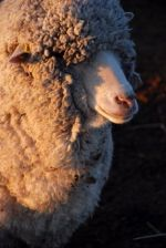 This sheep isn't from our farm, but it is a handsome animal, no?