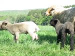 Jolie and her lambs