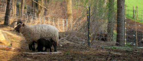 Clun Forest ewe with lambs