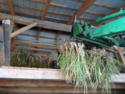 Garlic Harvest 2012