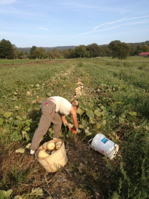 Jada harvesting winter squash