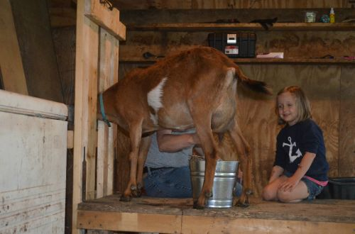 Milking the goats!