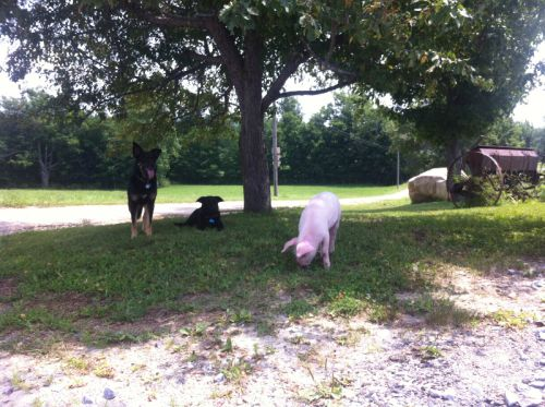 "Meet ""Scar"" the pig and Daisy and Bessie too!"