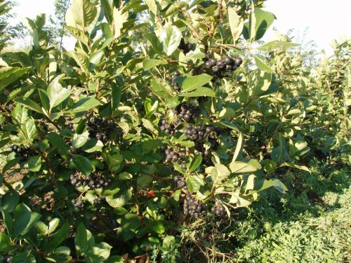 Stewart's Aronia Acres, Wagner