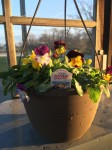 "10"" hanging basket ""cool wave"" pansies. This is new for 2020!"
