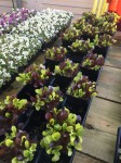 "3.5"" mixed lettuce mix pots"