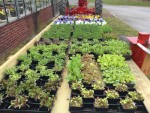 Plenty of vegetable seedlings available