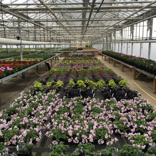 Pink Bacopa in foreground
