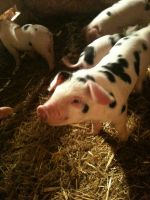 Gloucestershire piglets
