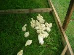 Half Grown Broilers