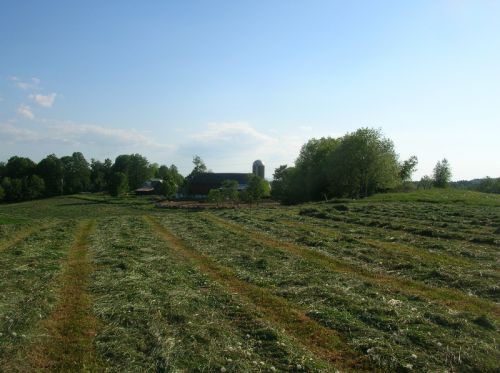 Rows of Drying Hay