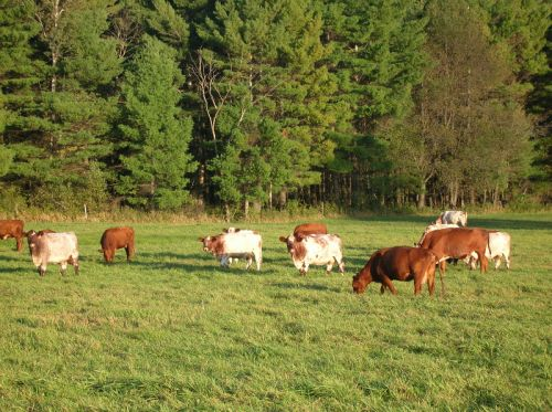 Late Afternoon Grazing