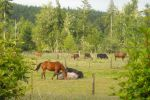 horses showing the cattle how to relax