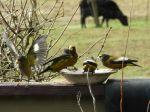 Grosbeaks in front of the cattle