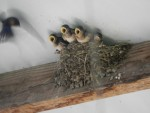 Swallow parent coming in hot with food.