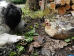 Jessie thinks she could be a better mother to those chicks.