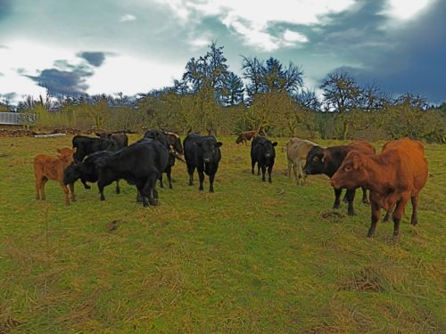 surreal vision of cattle