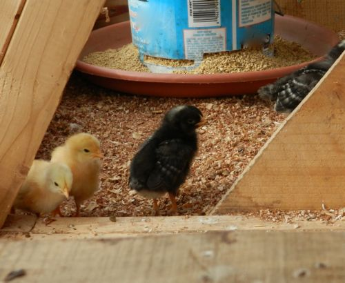 new laying hen chicks
