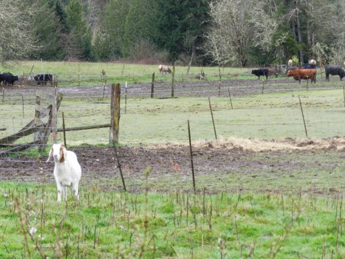 Goats and cattle and elk, oh my!