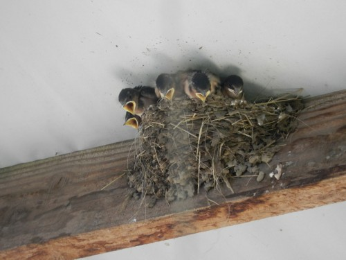 Swallow chicks screaming to be fed.
