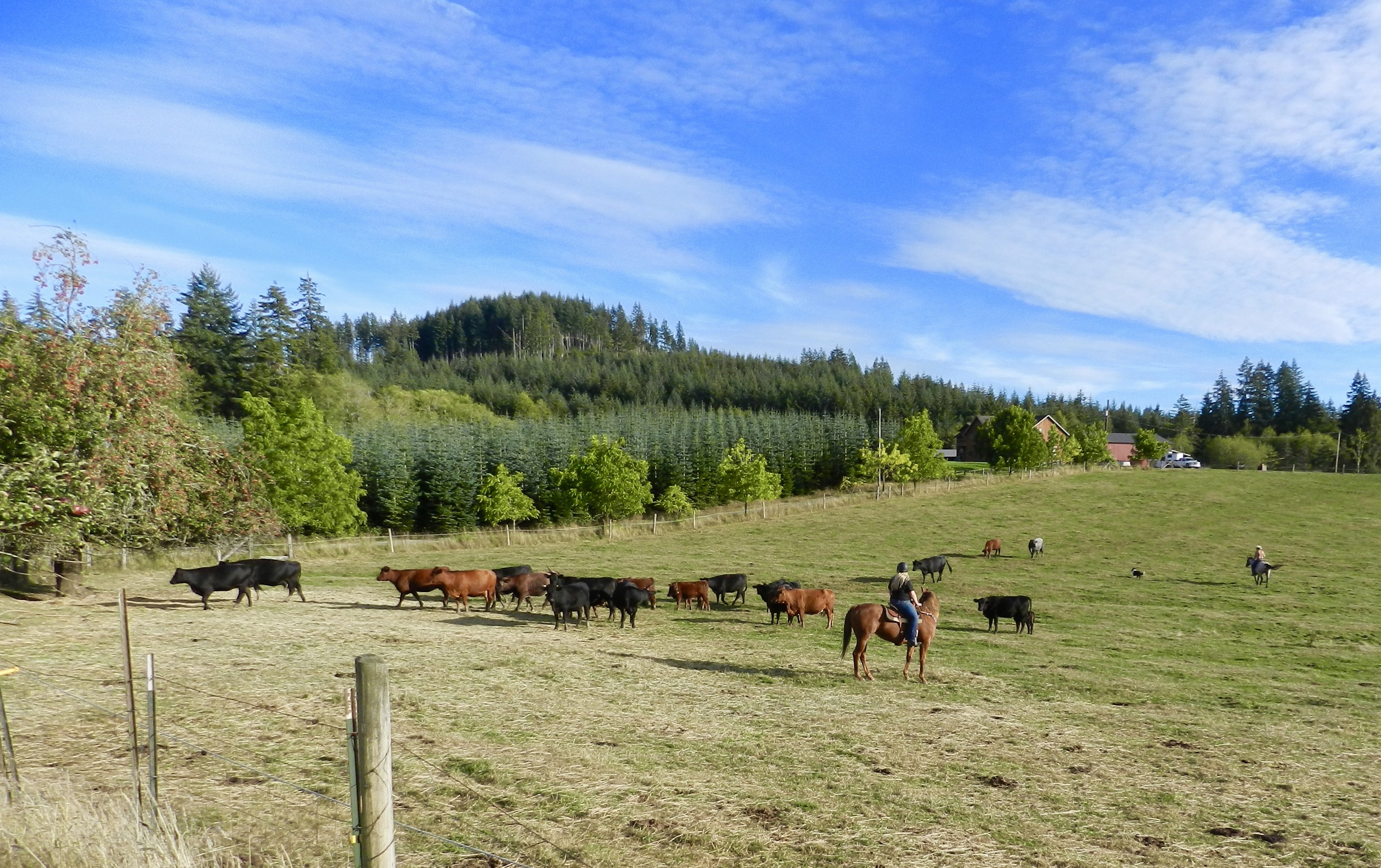 Rounding up the cattle at neighbors Mark and Cindy's Bender's pasture.