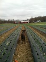 Maggie watching the Garlic grow!