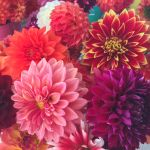 The Farmer's Wife Dahlias