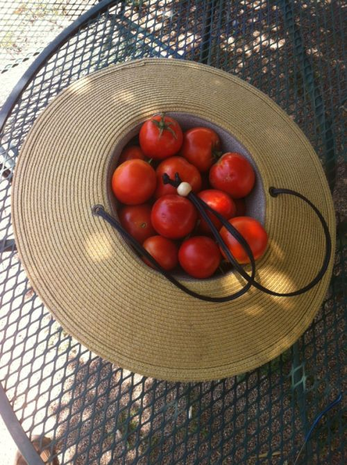 First dozen+ tomatoes of 2014!