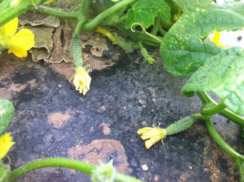 The Beginnings of Cucumbers