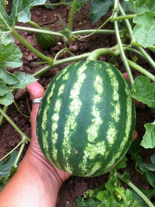 Baby Watermelon -- Not yet ready