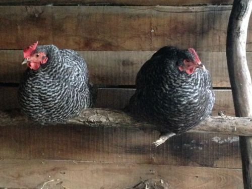 Sleeping chickens