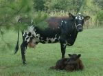 "Ida Rose, our Jersey-Holstein mix milk cow and her adopted calf ""Chaco,"" a 7 week old steer. (Sept.2011)"