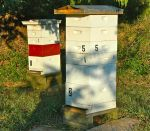 Our hives are wearing ventilated top covers with extended roof to protect the entrance from rainfall..