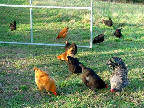 B-flock pullets grazing free range in the pasture. (photo by Cielo)