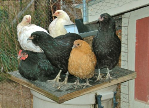 "teenagers ""chillin"" on a rain barrel cover, is surrounded by mid-growth young pullets from the spring-born peeps. (Fall 2011)"