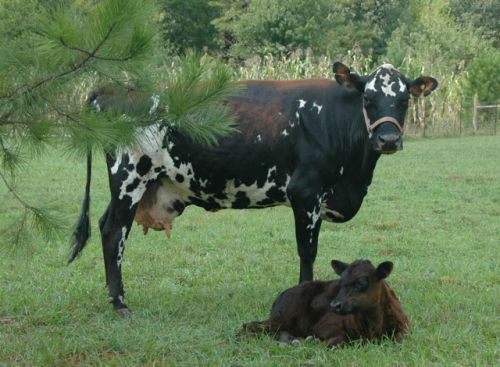"""Ida Rose, our Jersey-Holstein mix milk cow and her adopted calf """"Chaco,"""" a 7 week old steer. (Sept.2011)"""