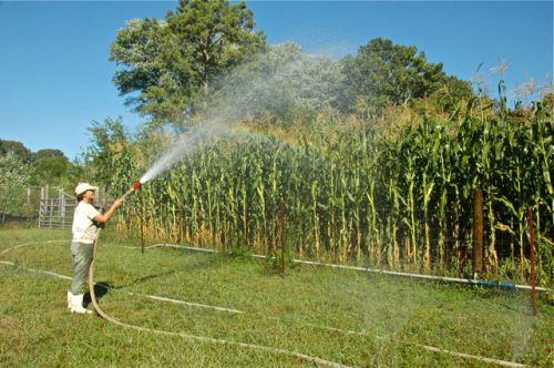Intern Mechelle using our pump-irrigation hose to water a stand of organically-grown heirloom corn.