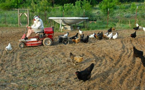 A flock of our farm-raised hens eagerly follow farmer leaf as he pulls a small disc through rich bottom soil prior to planting the 2011 Blue Clarage corn crop.
