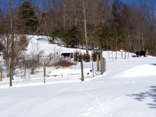 """Our barn weary cows stand in deep snow while soaking up welcome sunshine at their normal hay feeding area of our north pasture. In the left foreground is our """"kitchen garden"""" and small cold frame sticking out of the snow.  February 2014 snow event"""