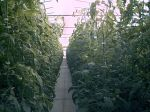 Tomatoe Vines 8' tall