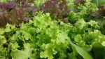 Mixed red/green lettuces