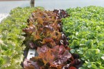 Red Oak Leaf Lettuce