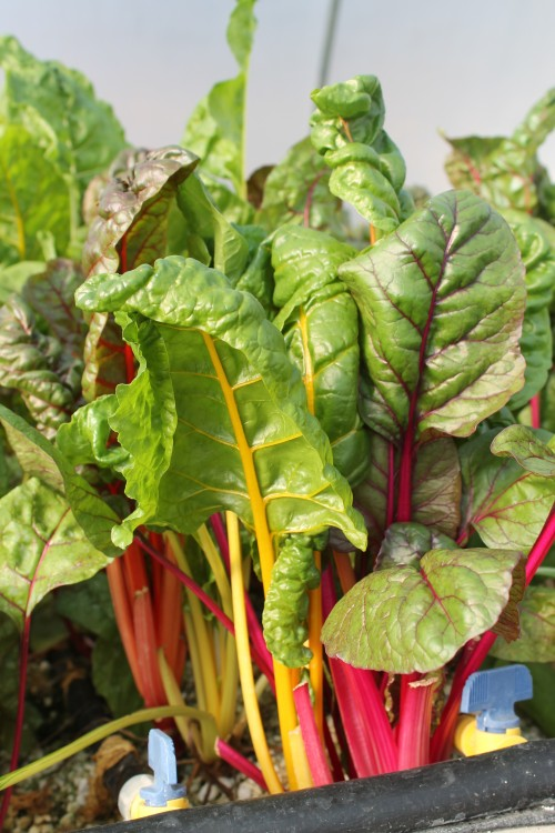 Bright Lights - Swiss Chard